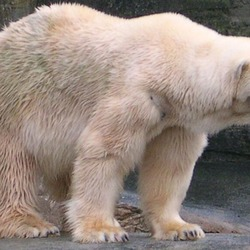 Polar Bear arctic white oso