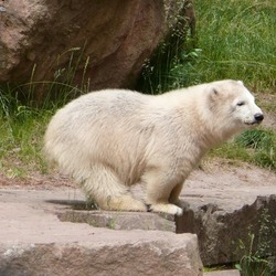 Polar Bear arctic white zoo