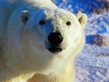 Polar Bear arctic wild face portrait