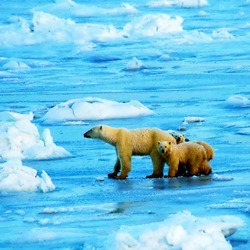Polar Bear arctic wild ice endangered