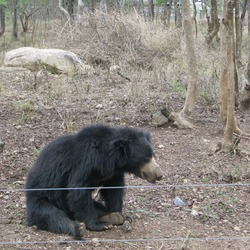 Sloth Bear Bannerghatta wild National Park