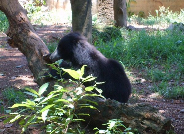 Sloth Bear Bear Dehiwala zoo