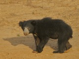 Sloth Bear Flickr Rainbirder Sloth Bear