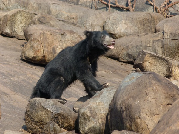 Sloth Bear Melursus Ursinus Young Male