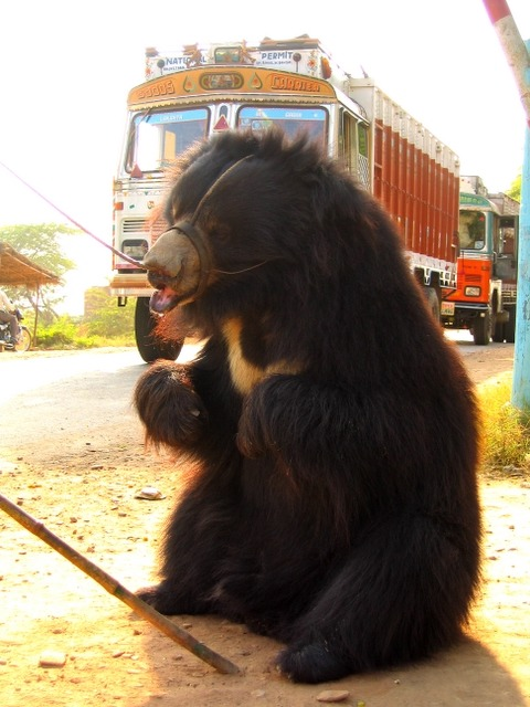 Sloth Bear Pushkar ursinus inornatus