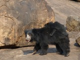 Sloth Bear Sloth Bear Mother Cub