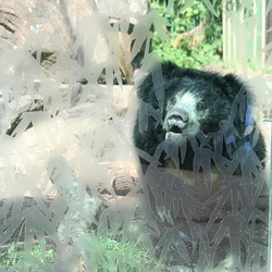 Sloth Bear Sloth Bear National Zoo