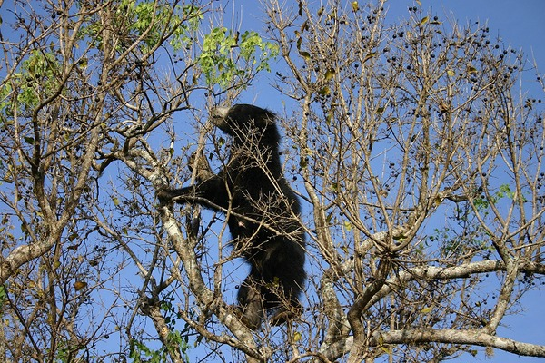 Sloth Bear SlothBearTree