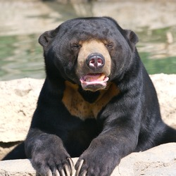 Sun Bear Helarctos malayanus relaxing