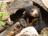 Sun Bear Malayan Sun Bear Oregon Zoo