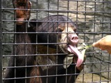 Sun Bear Malayan sun bear tongue
