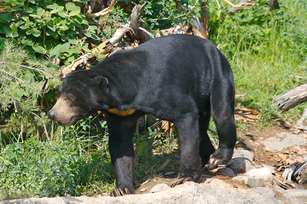 Sun Bear Sun Bear walking Move