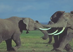 2004327_Fighting_Elephants
