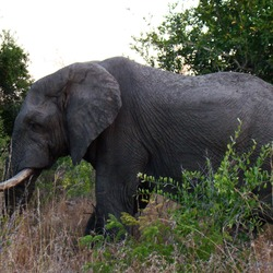 African Elephant A_male_elephant_in_South_Africa