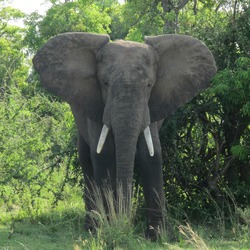African Elephant African_Bush_Elephant_in_Murchison_Falls_National_Park
