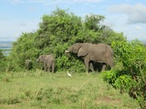 African Elephant African_Bush_Elephants_in_Murchison_Falls_National_Park