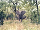 African Elephant Curious Zim