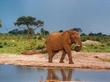 African Elephant Curled_trunk wild water hole