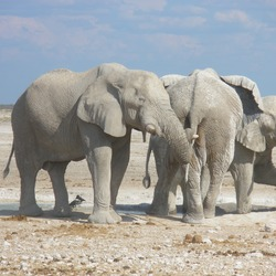 African Elephant Elephants_at_Etosha_National_Park01