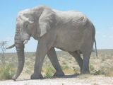 African Elephant Elephants_at_Etosha_National_Park03