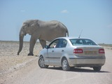 African Elephant Elephants_at_Etosha_National_Park04