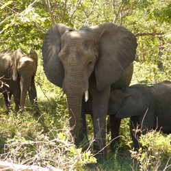 African Elephant Elephants_chobe_national_park