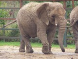 African Elephant Photo Gallery