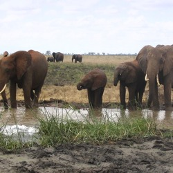 African Elephant Loxodonta_africana_group_drinking_in_Tsavo_East_National_Park_(edited)