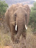 African Elephant Loxodonta_africana_in_Tsavo_East_National_Park_(edited)