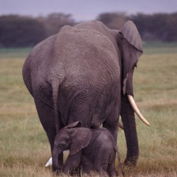 African Elephant Mother Baby Elephant