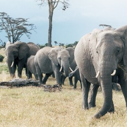 African Elephants in Sweetwater National Parks, Kenya