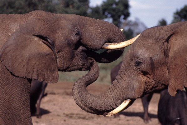 African Elephant Trunk Mouth