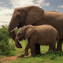 African Elephant Two_Elephants_in_Addo_Elephant_National_Park