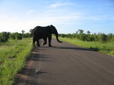 African Elephant crossing road Kruger National Park