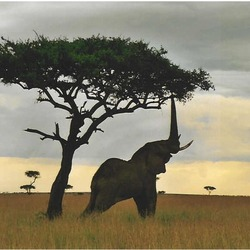 African Elephant reaching tree