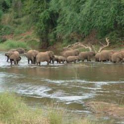African Elephant river