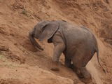 African Elephant young baby Uphill struggle