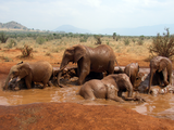 African_Bush_Elephant_mud_bath