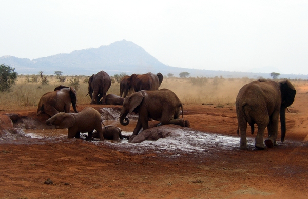 African_Bush_Elephants_mud_bath