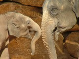 Asian Elephant Indian Asian_Elephant_and_Baby