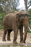 Asian Elephant Photo Gallery