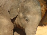 Asian Elephant Indian Baby_Elephant_Close-up