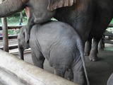 Asian Elephant Indian Baby_elephant