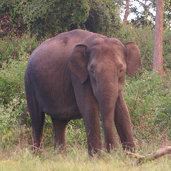 Asian Elephant Indian Bandipur