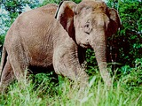 Asian Elephant Indian Borneo Loxodonta cyclotis