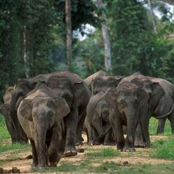 Asian Elephant Indian Borneo elephants
