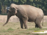 Asian Elephant Indian Chattbir Punjab