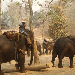 Asian Elephant Indian Elephant Training Camp