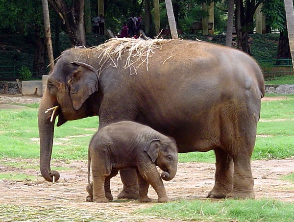 Asian Elephant Indian Elephant_indian_