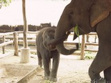 Asian Elephant Indian Elephant_mother_and_calf